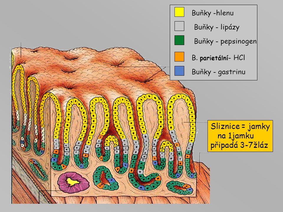 Sliznice = jamky na 1jamku připadá 3-7žláz Buňky -hlenu Buňky - lipázy