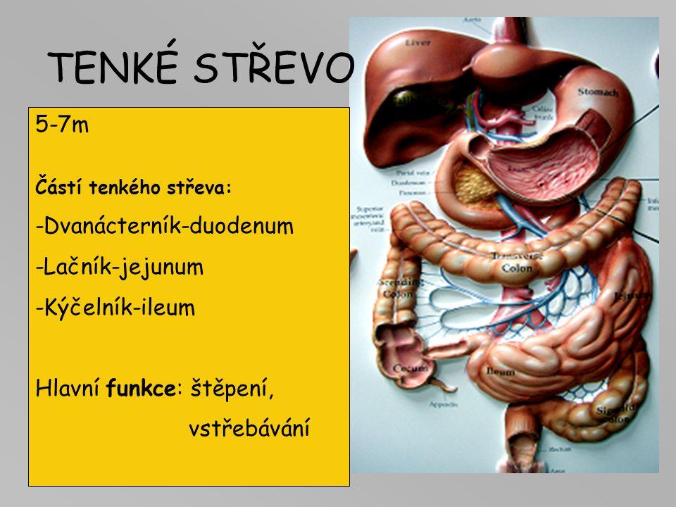 TENKÉ STŘEVO 5-7m -Dvanácterník-duodenum -Lačník-jejunum