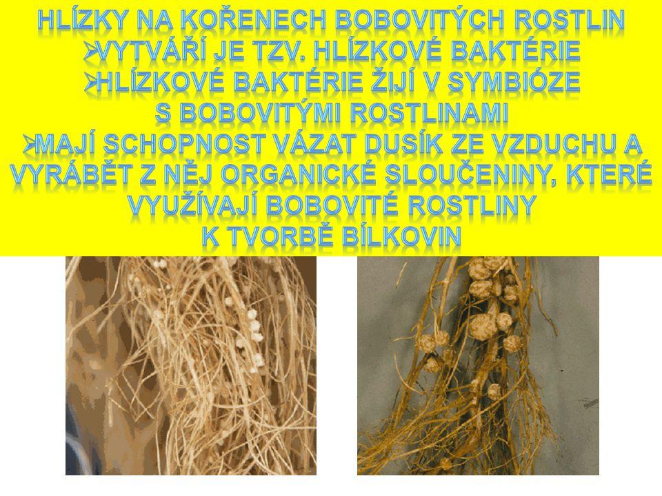 Co je na obrázku Hlízky na kořenech bobovitých rostlin