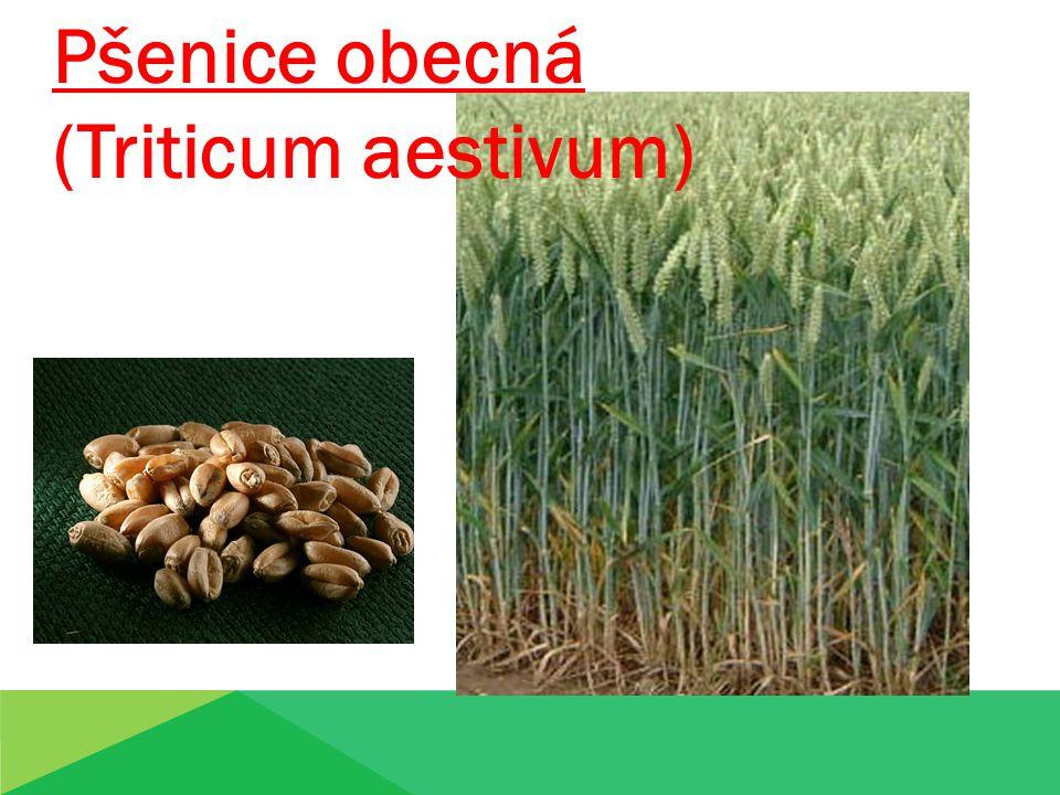Pšenice obecná (Triticum aestivum) Pšenice obecn