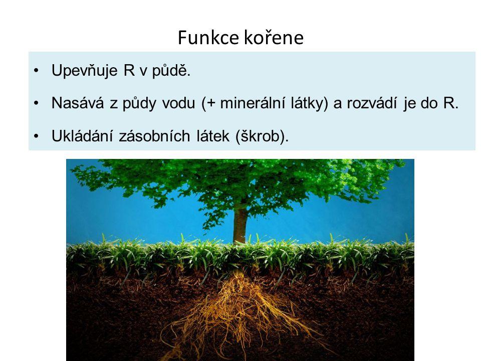 Funkce kořene Upevňuje R v půdě.