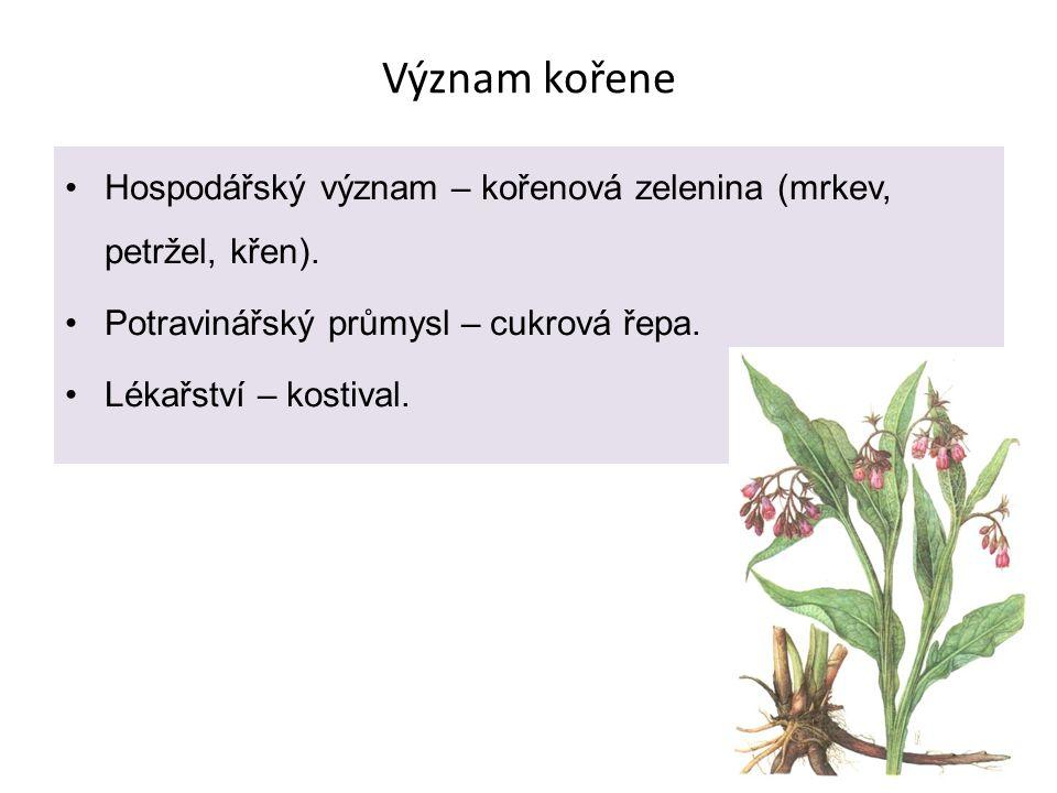 Význam kořene Hospodářský význam – kořenová zelenina (mrkev, petržel, křen). Potravinářský průmysl – cukrová řepa.
