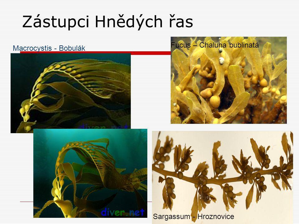 Zástupci Hnědých řas Fucus – Chaluha bublinatá Macrocystis - Bobulák
