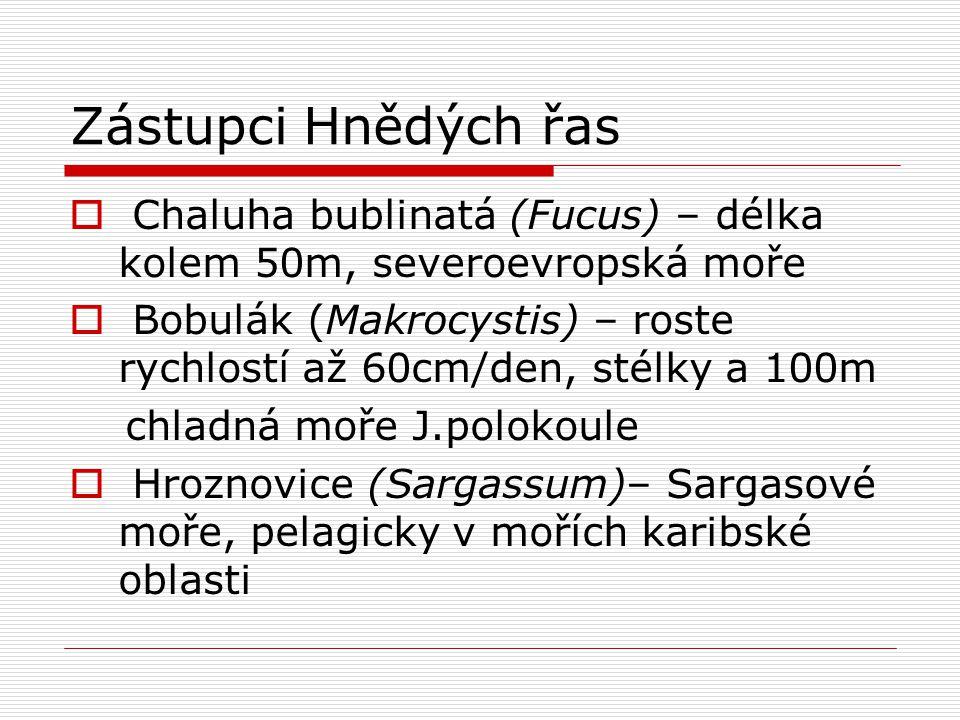 Zástupci Hnědých řas Chaluha bublinatá (Fucus) – délka kolem 50m, severoevropská moře.