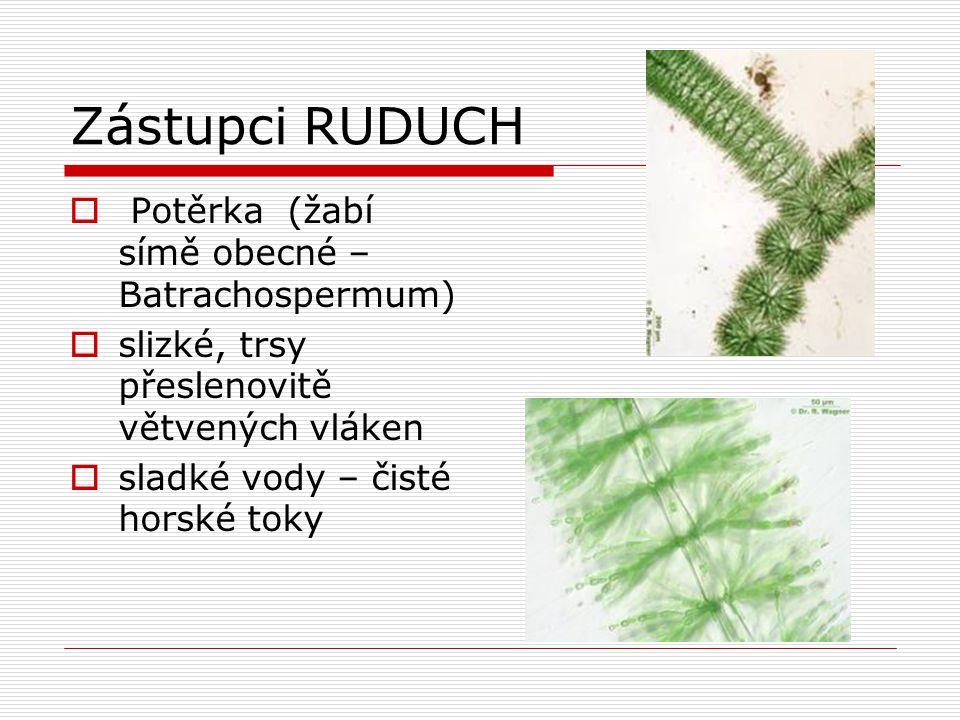 Zástupci RUDUCH Potěrka (žabí símě obecné – Batrachospermum)