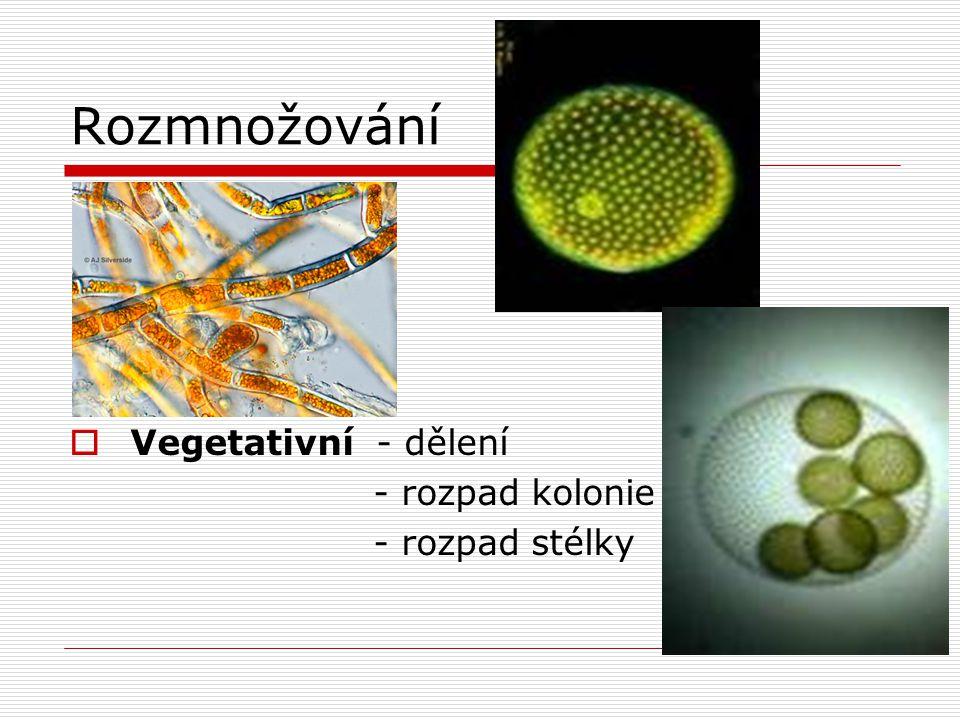 Rozmnožování Vegetativní - dělení - rozpad kolonie - rozpad stélky