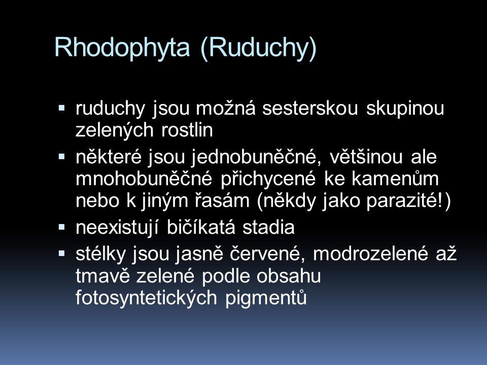 Rhodophyta (Ruduchy) ruduchy jsou možná sesterskou skupinou zelených rostlin.