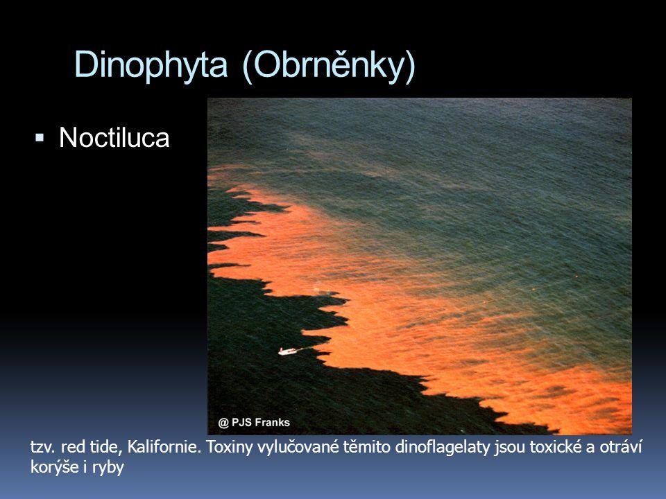Dinophyta (Obrněnky) Noctiluca