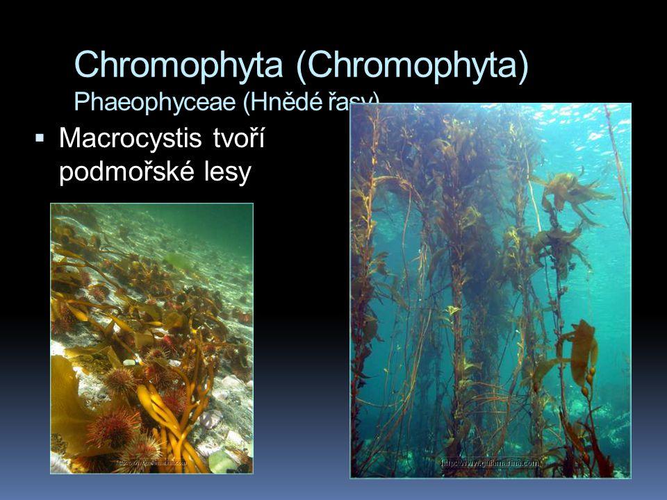 Chromophyta (Chromophyta) Phaeophyceae (Hnědé řasy)