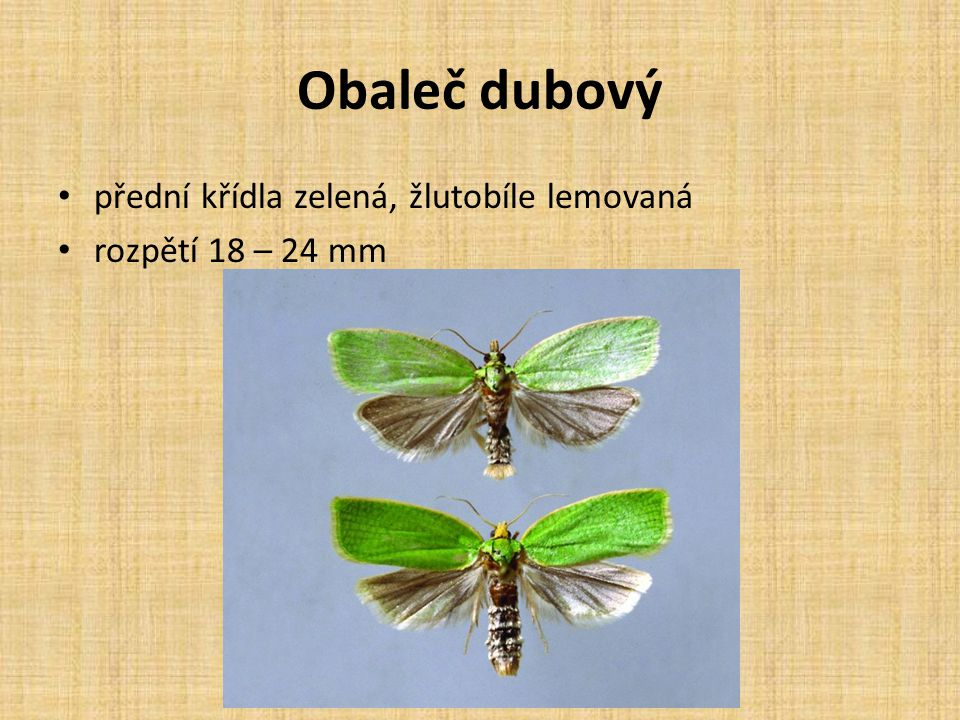 Obaleč dubový přední křídla zelená, žlutobíle lemovaná