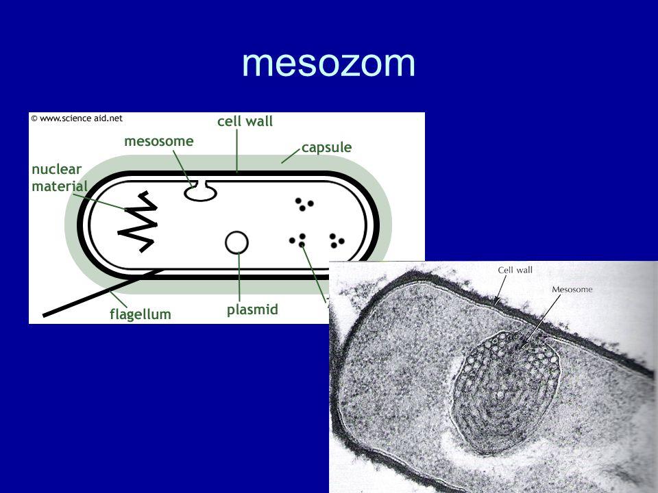 mesozom