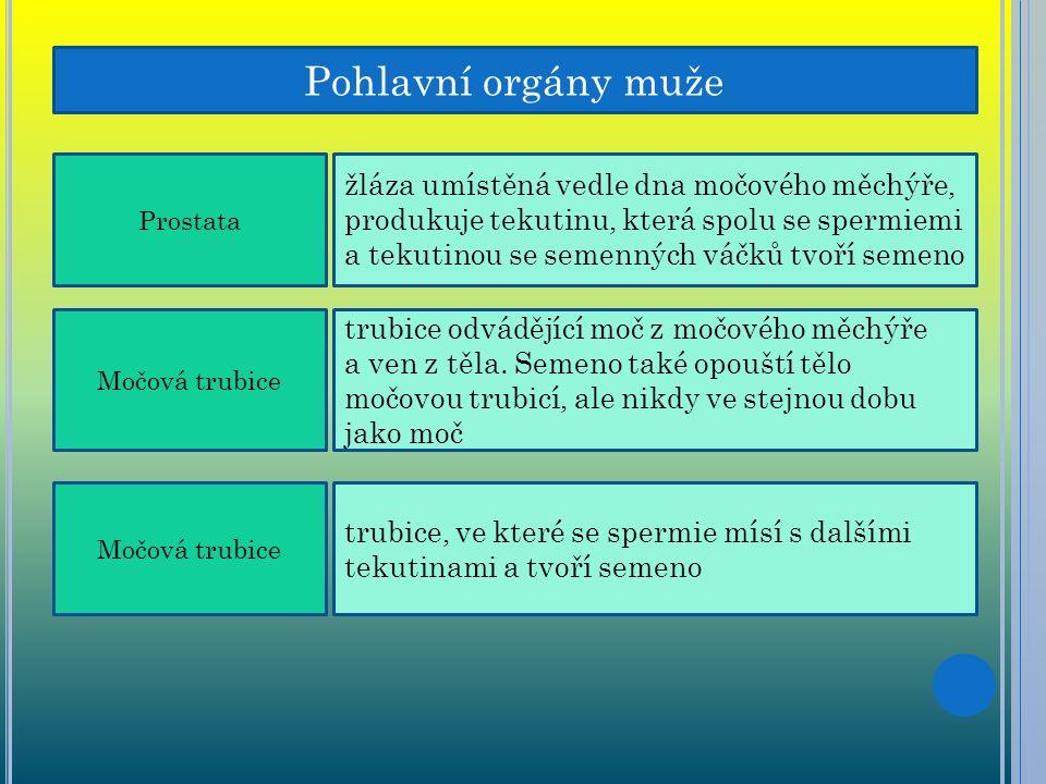 Pohlavní orgány muže Prostata.