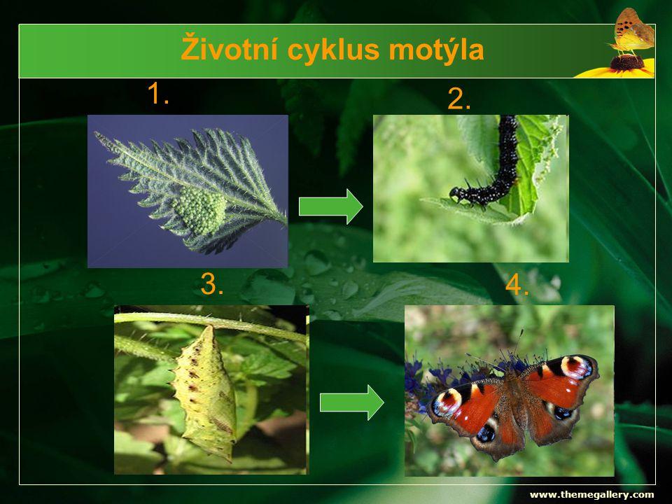 Životní cyklus motýla 1. 2. 3. 4. www.themegallery.com