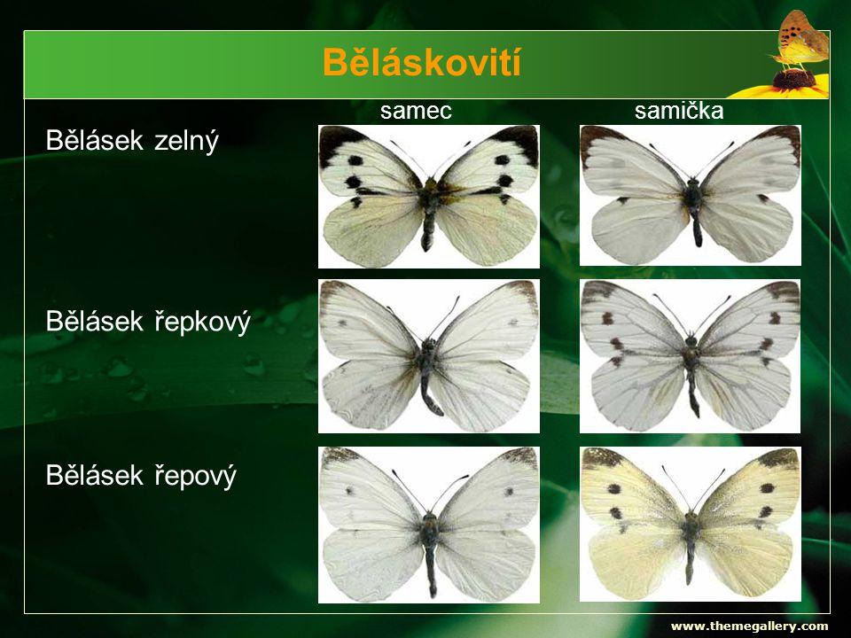 Běláskovití Bělásek zelný Bělásek řepkový Bělásek řepový samec samička