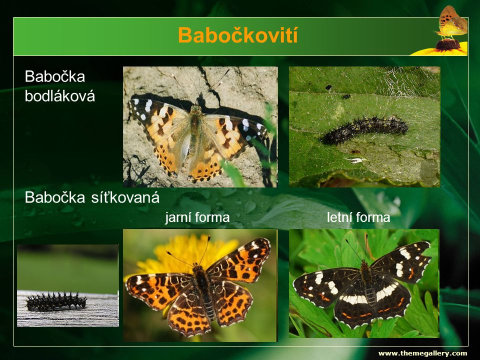Babočkovití Babočka bodláková Babočka síťkovaná jarní forma