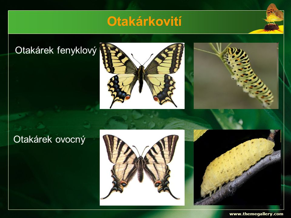 Otakárkovití Otakárek fenyklový Otakárek ovocný www.themegallery.com
