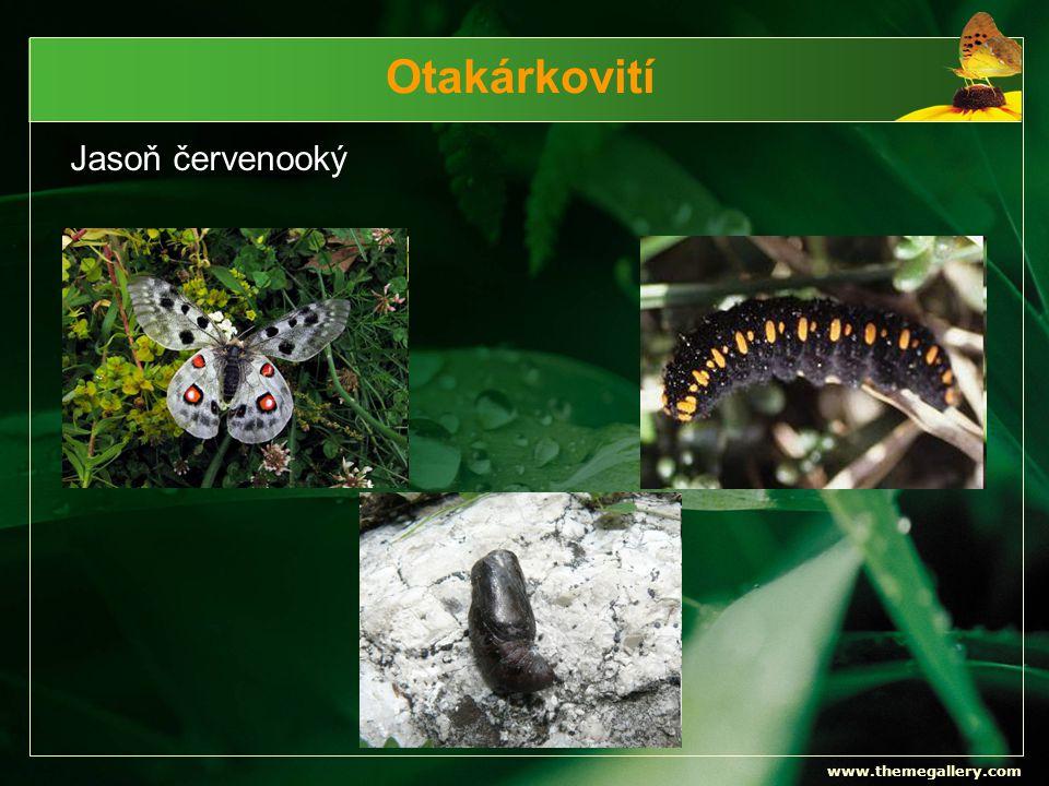 Otakárkovití Jasoň červenooký www.themegallery.com