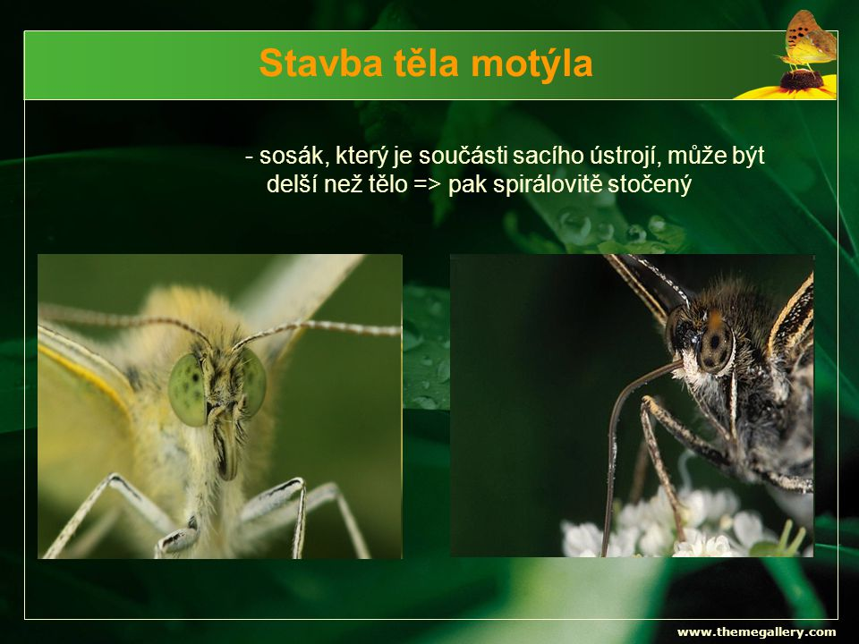 Stavba těla motýla - sosák, který je součásti sacího ústrojí, může být delší než tělo => pak spirálovitě stočený.