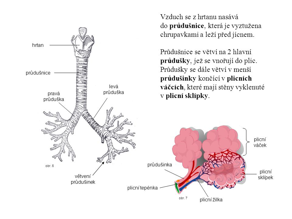 Průdušnice se větví na 2 hlavní průdušky, jež se vnořují do plic.
