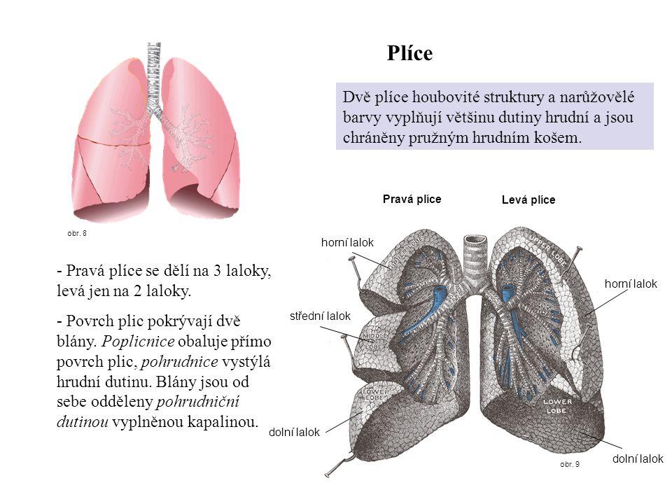 Plíce obr. 8. Dvě plíce houbovité struktury a narůžovělé barvy vyplňují většinu dutiny hrudní a jsou chráněny pružným hrudním košem.