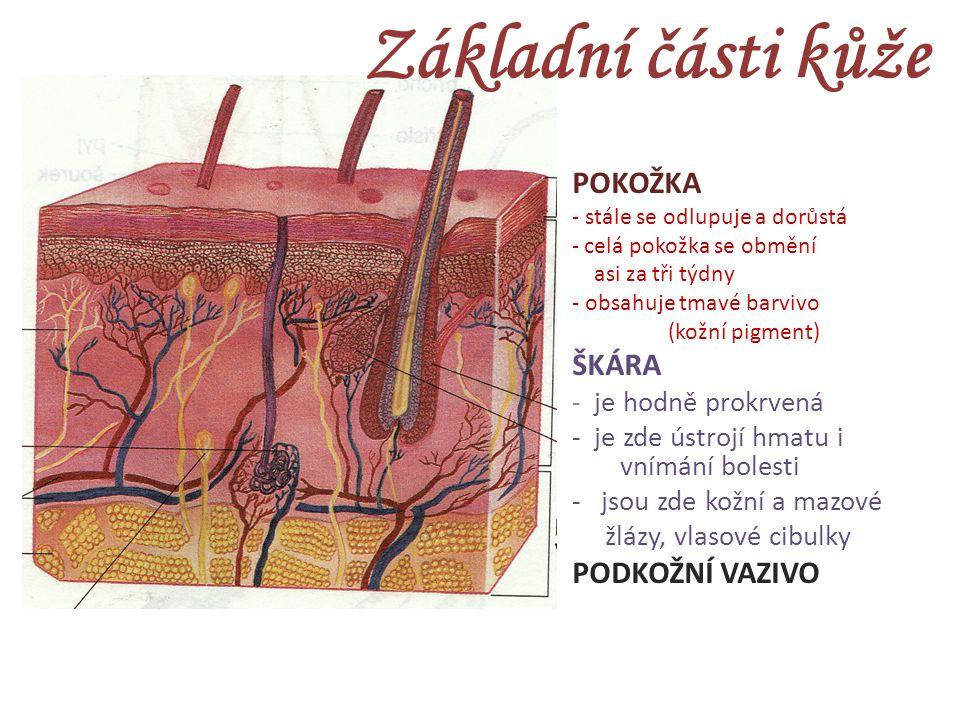 Základní části kůže POKOŽKA ŠKÁRA PODKOŽNÍ VAZIVO - je hodně prokrvená