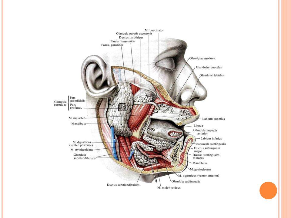 Zdroj:http://spina.pro/i/anatomy/vnutrennosti/459.jpg