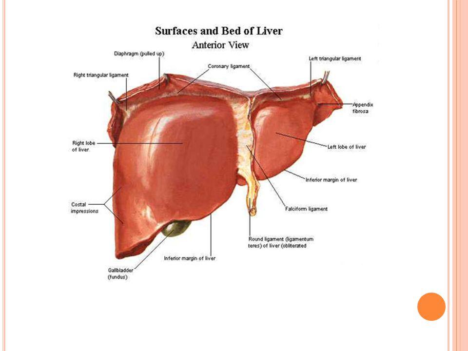 Zdroj:http://static.framar.bg/snimki/anatomiya/hepar1.jpg