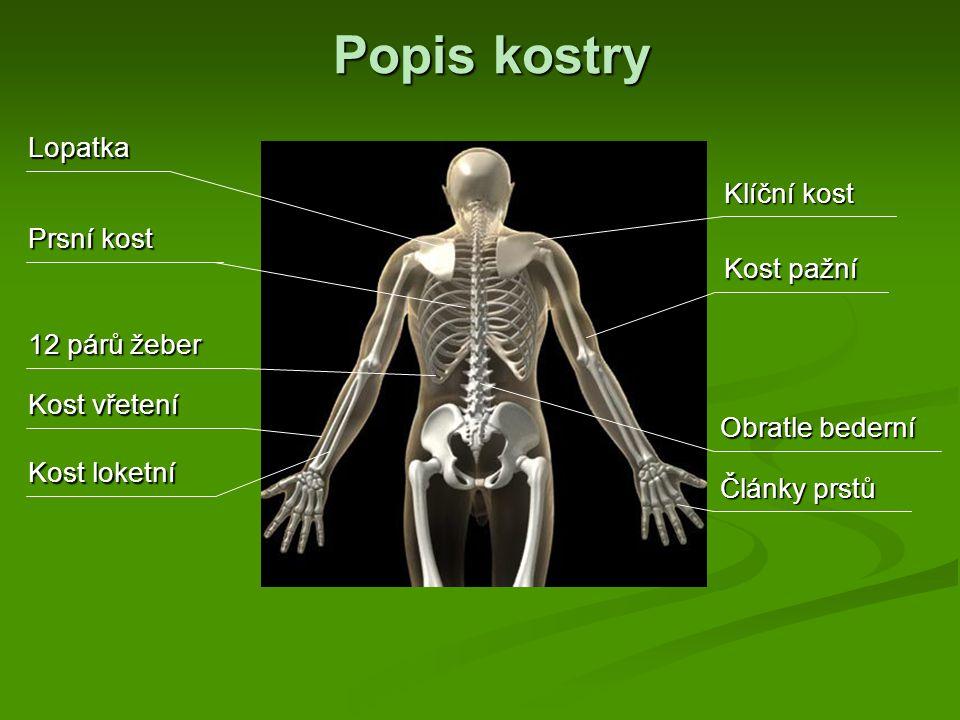 Popis kostry Lopatka Klíční kost Prsní kost Kost pažní 12 párů žeber