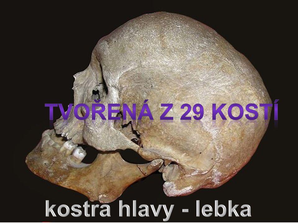 tvořená z 29 kostí kostra hlavy - lebka