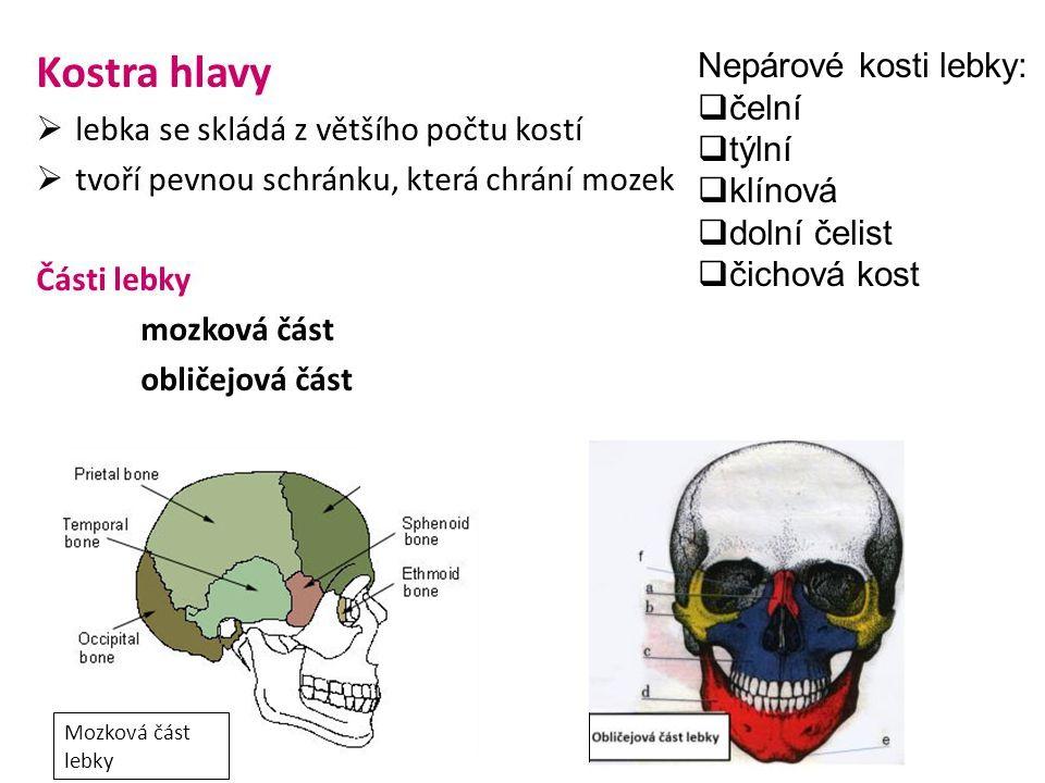 Nepárové kosti lebky: čelní týlní klínová dolní čelist čichová kost
