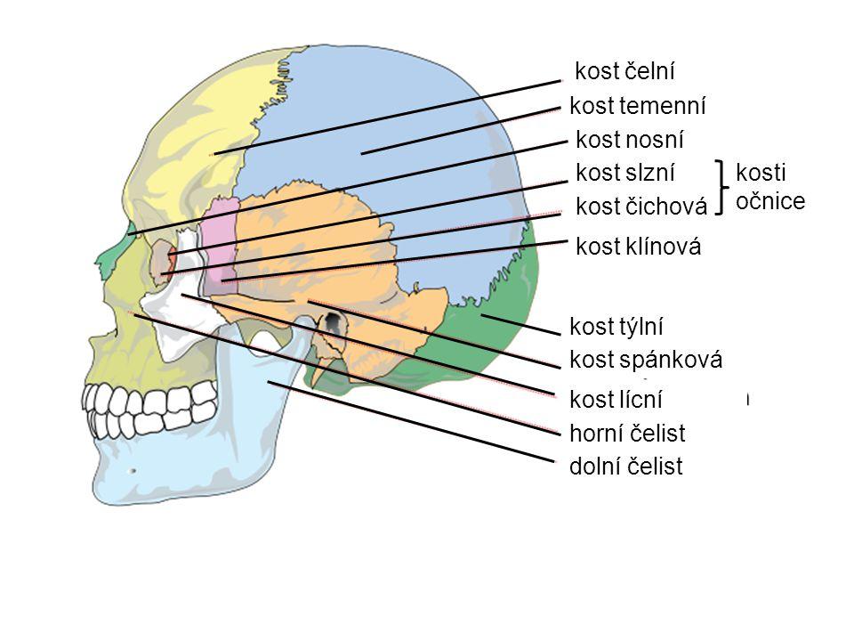 kost čelní kost temenní. kost nosní. kost slzní. kost týlní. kost spánková. kost lícní. horní čelist.