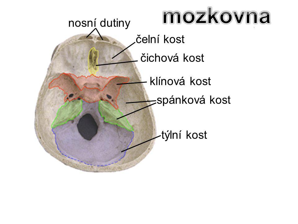 mozkovna nosní dutiny čelní kost čichová kost klínová kost