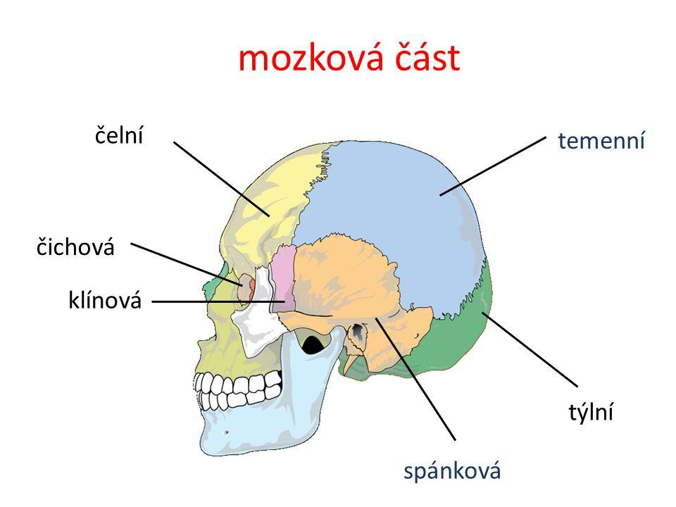 mozková část čelní temenní čichová klínová týlní spánková