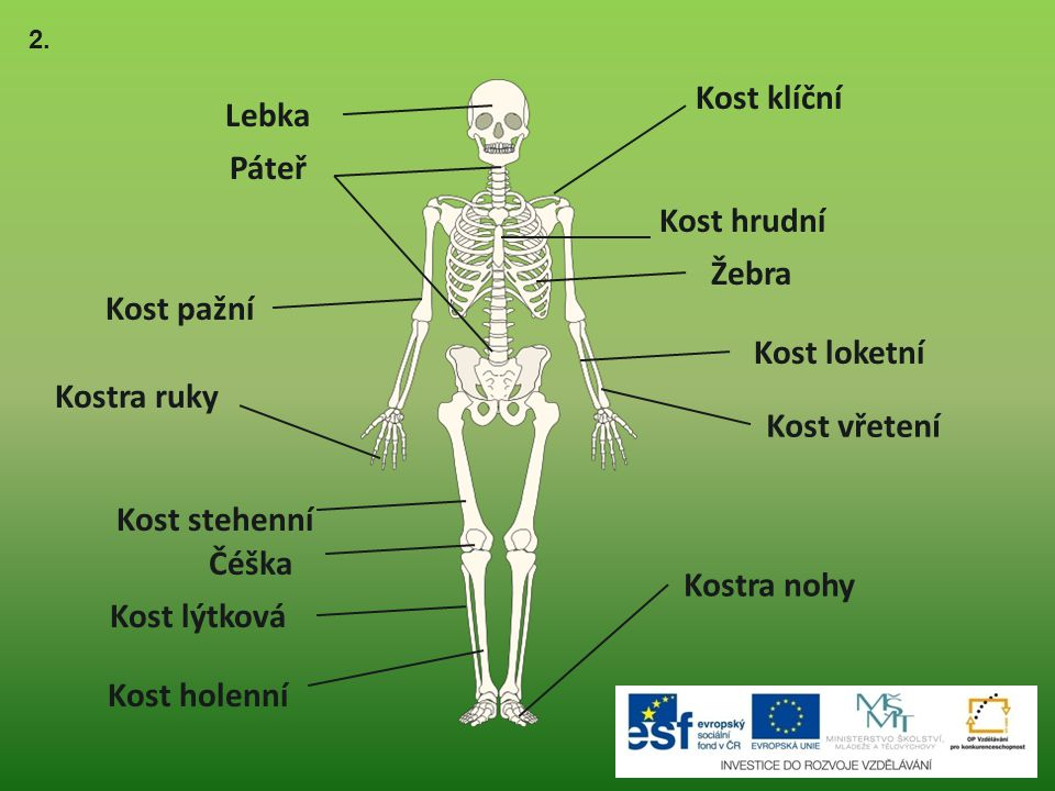 Kost klíční Lebka Páteř Kost hrudní Žebra Kost pažní Kost loketní