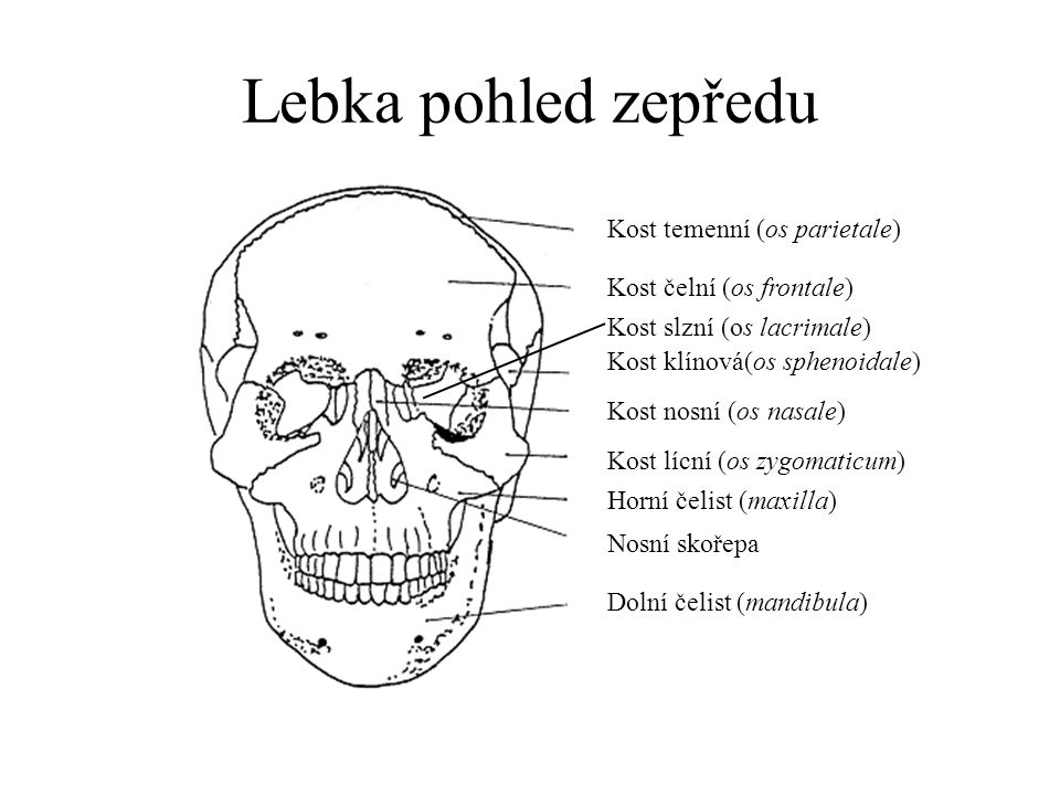 Lebka pohled zepředu Kost temenní (os parietale)