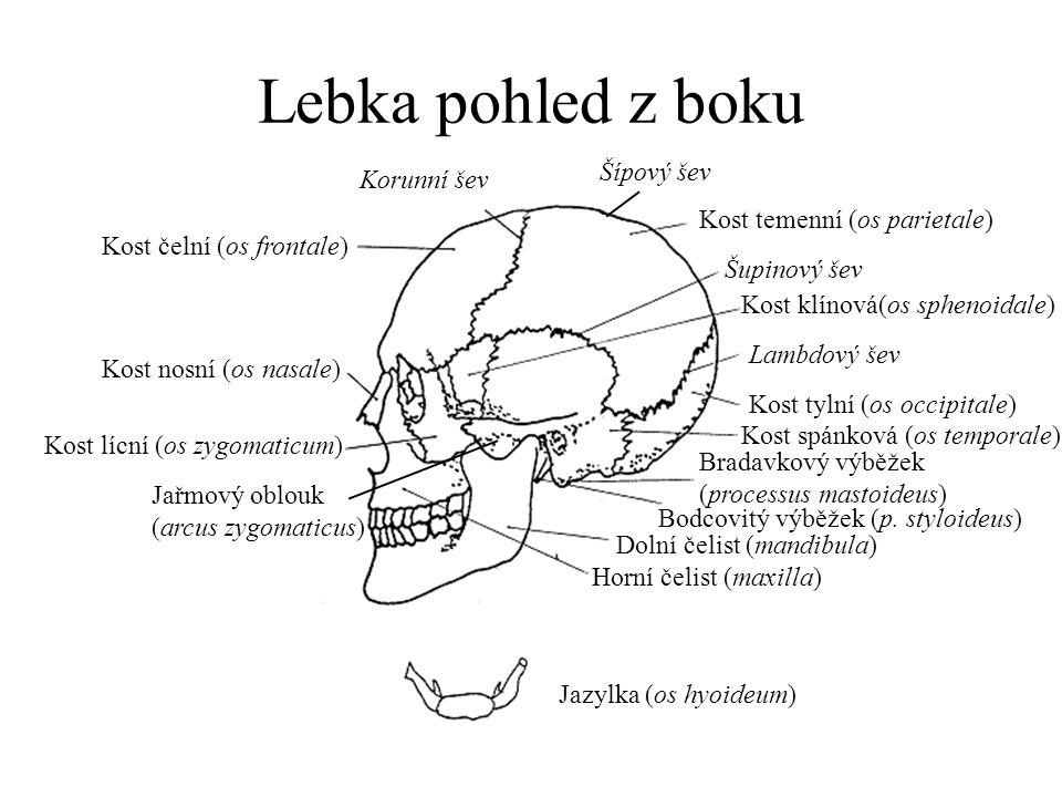 Lebka pohled z boku Šípový šev Korunní šev Kost temenní (os parietale)