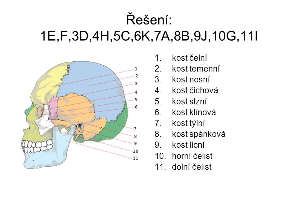 Řešení: 1E,F,3D,4H,5C,6K,7A,8B,9J,10G,11I kost čelní kost temenní