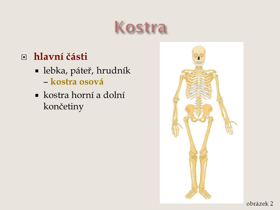Kostra hlavní části lebka, páteř, hrudník – kostra osová