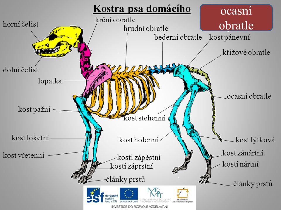 kost stehenní kost holenní kost vřetenní kosti nártní kost lýtková
