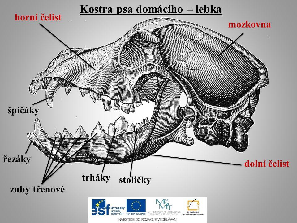 Kostra psa domácího – lebka