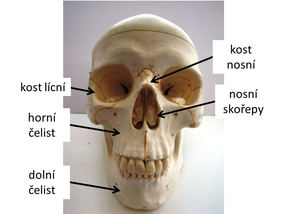 kost nosní kost lícní nosní skořepy horní čelist dolní čelist