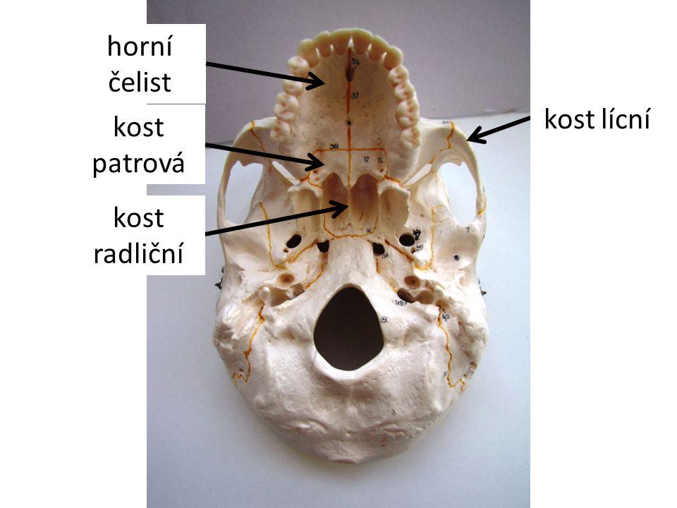 horní čelist kost lícní kost patrová kost radliční