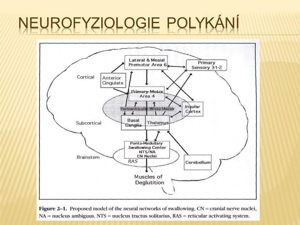 Neurofyziologie polykání