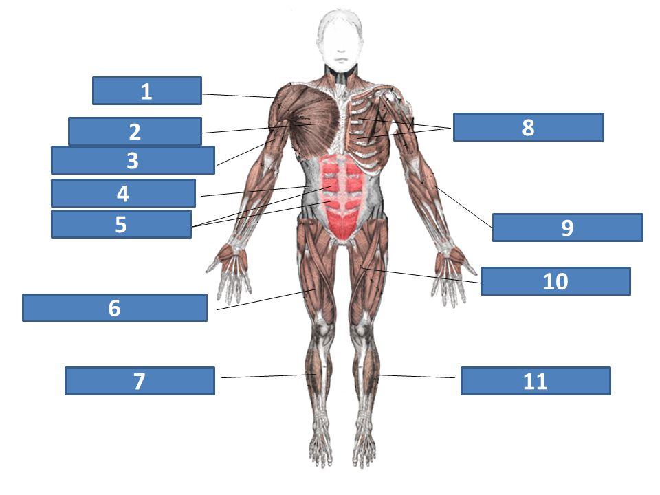 1 2 8 3 4 5 9 10 6 7 11 deltový sval mezižeberní svaly