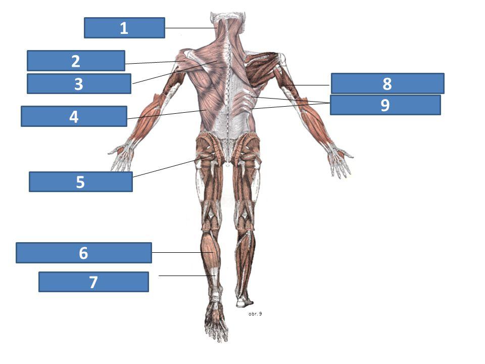 1 2 3 8 9 4 5 6 7 zdvihač hlavy deltový sval trapézový sval