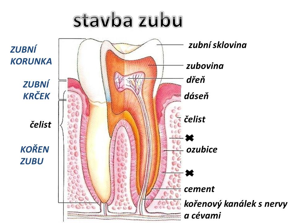stavba zubu zubní sklovina ZUBNÍ KORUNKA zubovina dřeň ZUBNÍ KRČEK