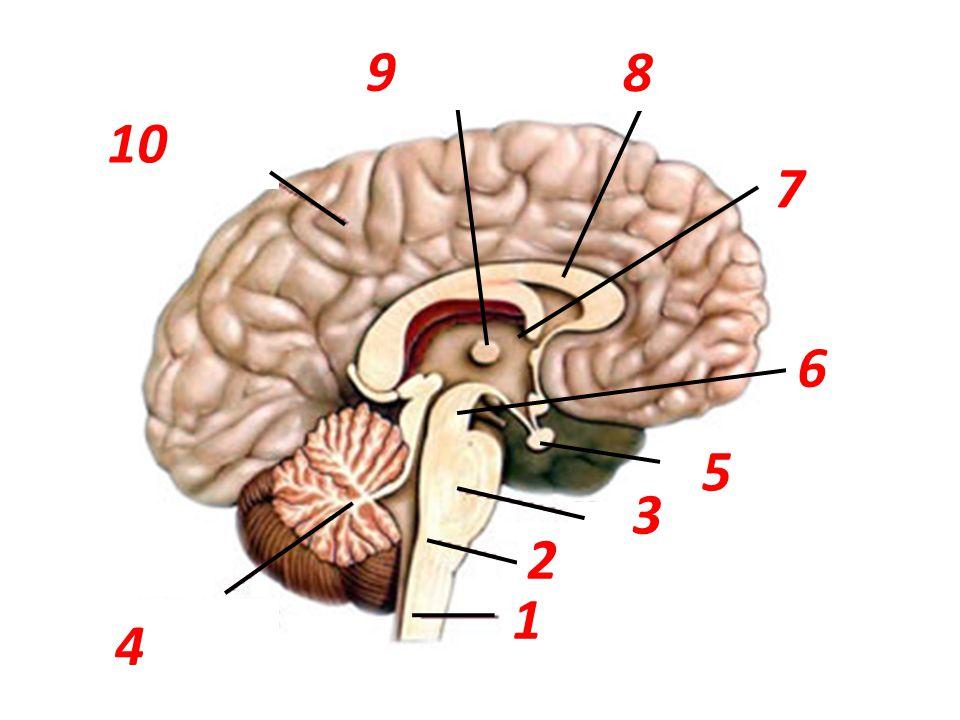 9 8 10 7 6 5 3 2 1 4 mozková komora mozkový vazník koncový mozek