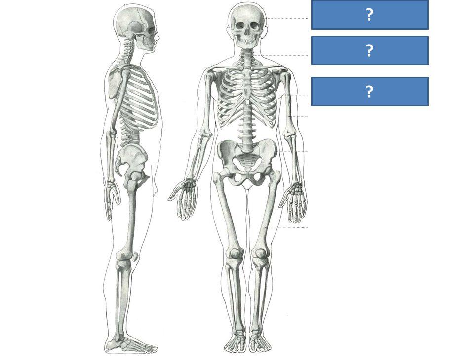 lebka páteř hrudník