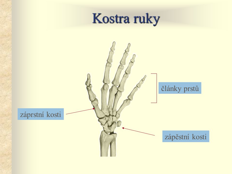 Kostra ruky články prstů záprstní kosti zápěstní kosti