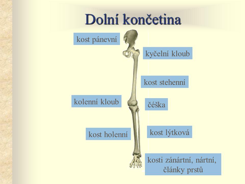 Dolní končetina kost pánevní kyčelní kloub kost stehenní kolenní kloub